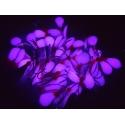 LAŠAS (Kamatsu nr. 8) rožinė / UV